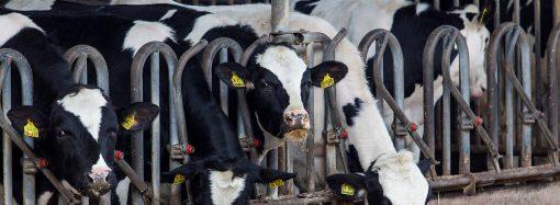Systemy żywienia bydła mlecznego